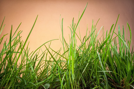 sunligh: Leaves of grass on an orange background