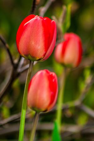 botan: spring red tulip