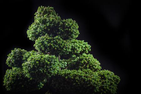 bonsai Chamaecyparis pisiferaSquarrosa dumosa on a black background