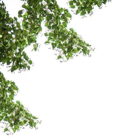 tilia: heart-shaped leaves of linden, Tilia cordata