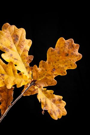 leaf of autumn oak, Quercus robur
