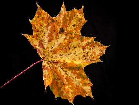 tree leaf autumnal maple, Acer platanoides