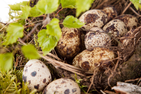 quail eggs in the nest and birch branches Stock Photo