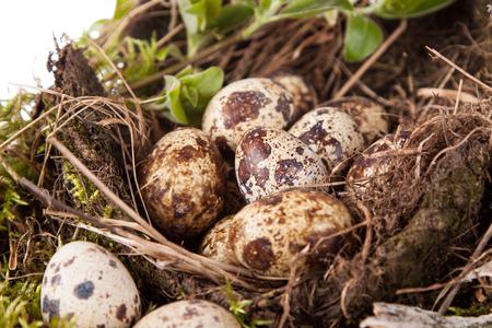 quail eggs in the nest and willow branches Stock Photo