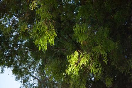 eucaliptus, a tree in the Mediterranean Reklamní fotografie