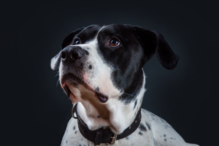 bandog on the black background of the studio