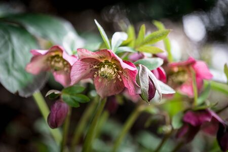Hellebore, Helleborus spring flora in the garden