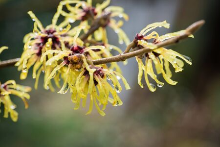 Witch-hazel, Hamamelis japonica, in the garden by the stream 版權商用圖片