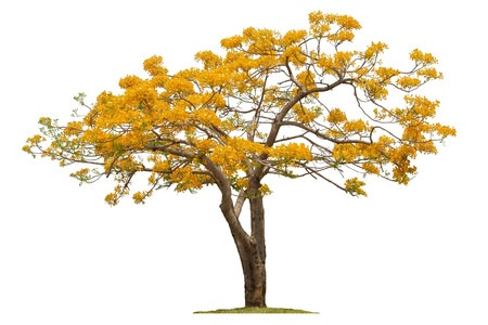 A Beautiful Summer Tree In Thailand  Hang-Nok-Yung ,Flamebuoyant Tree, Flam of the forest, Peacock flower