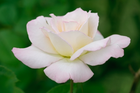 shallow focus: white rose with pink edge, side view