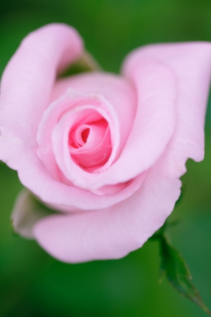 reveal: first reveal pink rose
