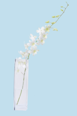 white orchid bunch in vase isolated blue Stock Photo
