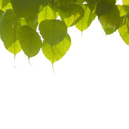 pho oder Bodhi lassen mit weißem Hintergrund. Lizenzfreie Bilder