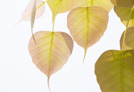 Pho o bodhi árbol planteado dejar gustativas. Foto de archivo - 27368445