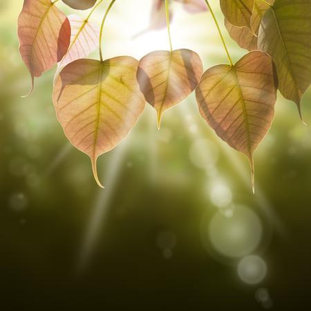 pho oder Bodhi lassen in regen Wald. Standard-Bild