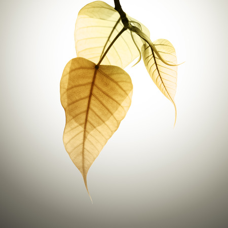 pho or bodhi leave buds under sunlight and shadow  Stock Photo