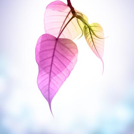 gaya: pink pho or bodhi leave buds under sunlight