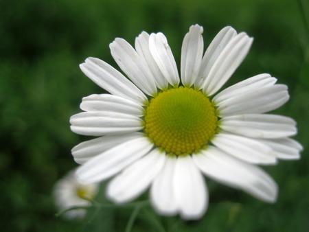 chamomile 写真素材