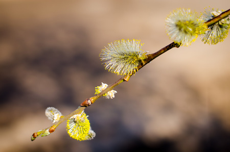 buds: beautiful colorful spring willow buds