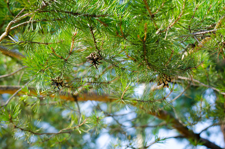 breathable: the buds on the branches of a pine wood illuminated by the sun at the spring sky Stock Photo