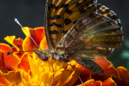 Butterfly extracts the nectar from the flower Stock fotó