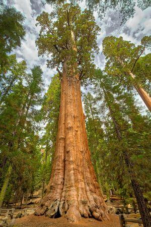 Il generale Sherman è un albero di sequoia gigante (Sequoiadendron giganteum) situato nella Giant Forest of Sequoia National Park nella contea di Tulare, nello stato americano della California. In volume, è il più grande albero vivente a stelo singolo sulla Terra. Archivio Fotografico