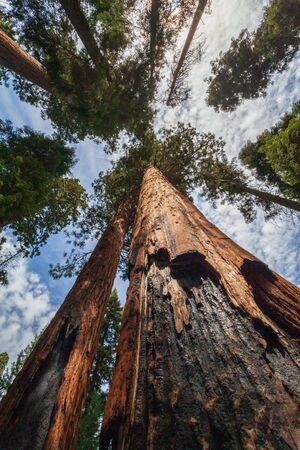 Giant Sequoia trees that have survived a forest fire.