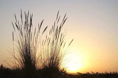 Tall reeds at sunset with the sun shining in the background. Horizontal shot. photo