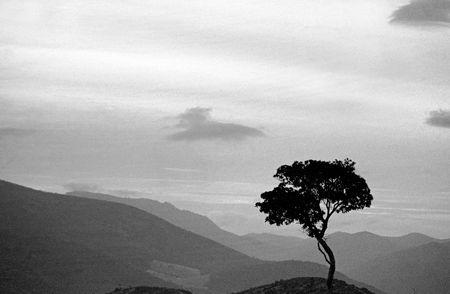 singular: Olive Tree in South of Spain
