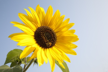 Sunflower and Bee against Blue Sky Background photo