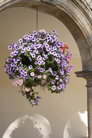 Hanging Basket of Pansy - Violet Flowers against Building  photo