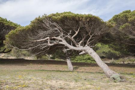 windswept: Windswept Pine Tree, Canos de Meca Beach, Cadiz; Andalusia, Spain