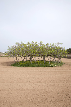 formentera: Fig Tree, Formentera, Balearic Islands, Spain