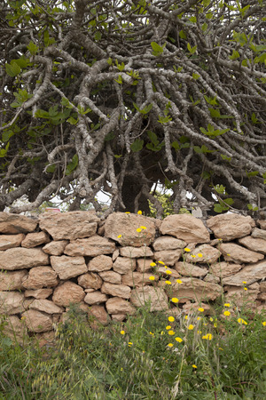 formentera: Stone Wall and Fig Tree in Formentera; Balearic Islands, Spain Stock Photo