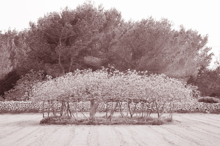 formentera: Fig Tree in Formentera; Balearic Islands; Spain in Black and White Sepia Tone