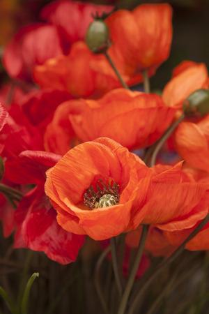 poppy: Primer plano de material rojo Amapolas Flores