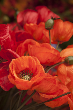 poppy flowers: Close-up of Red Material Poppies Flowers