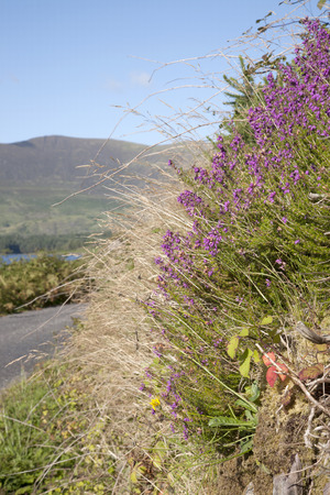 lough: Lough Currane and Heather, Waterville; County Kerry; Ireland