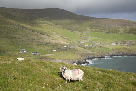 dunquin: Sheep on Slea Head, Dingle Peninsula, Ireland