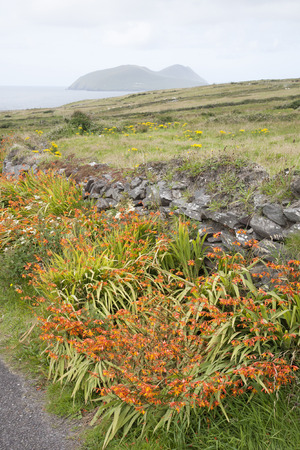 blasket islands: Blasket Island, Wild Orange Flower - Montbietia Plant on Roadside; Ireland