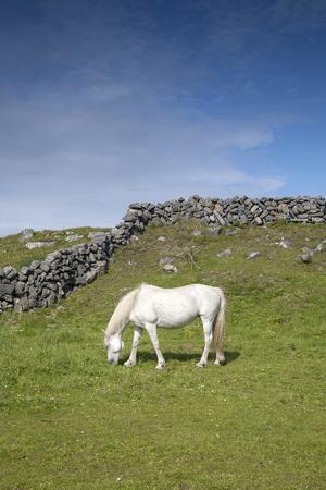 aran: White Horse in Field on Inishmore, Aran Islands, Ireland