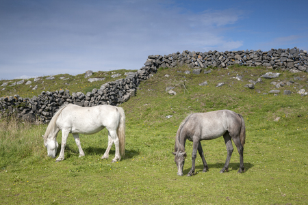 aran: White and Grey Horse in Field on Inishmore, Aran Islands, Ireland