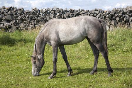 aran islands: Grey Horse in Field on Inishmore, Aran Islands, Ireland
