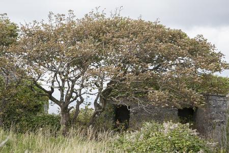 aran islands: Windswept Tree, Inishmore; Aran Islands; Ireland