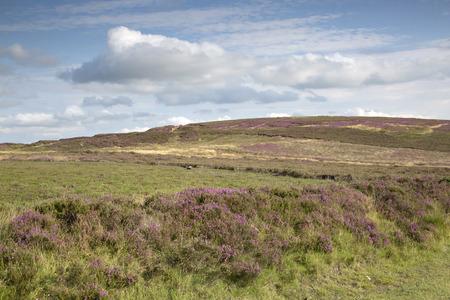 moors: Heather on North York Moors; England; UK Stock Photo