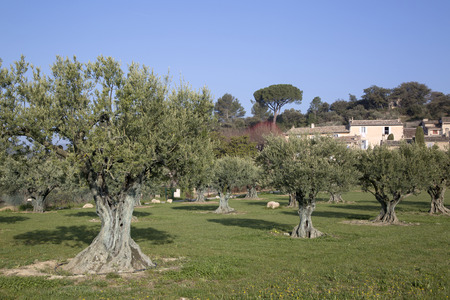 lourmarin: Olive Trees in Lourmarin, Provence, France, Europe