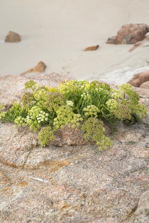 Plant at Forcados Point Beach; Costa de la Muerte; Galicia; Spain Stock Photo