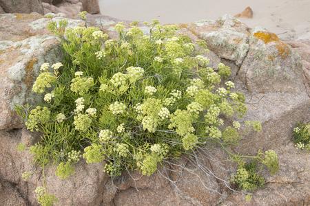 Plant and Rock at Forcados Point Beach; Costa de la Muerte; Galicia; Spain