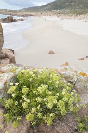 Plant on Forcados Point Beach; Costa de la Muerte; Galicia; Spain