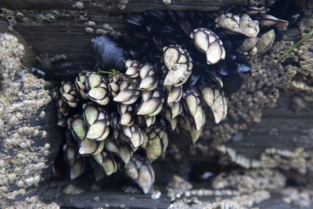 Barnacles and Mussels, Cathedral Beach; Galicia; Spain Stock fotó